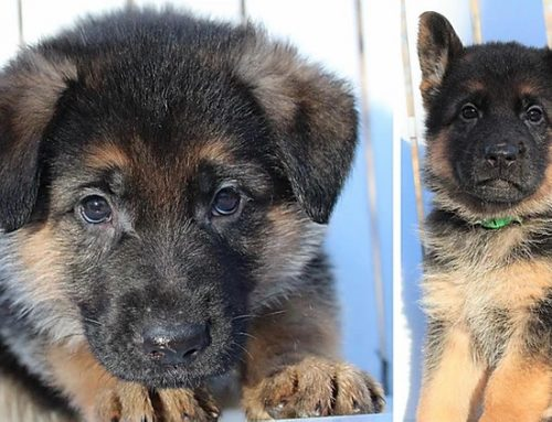Why Purchase a German Shepherd Puppy from Dallas Texas?