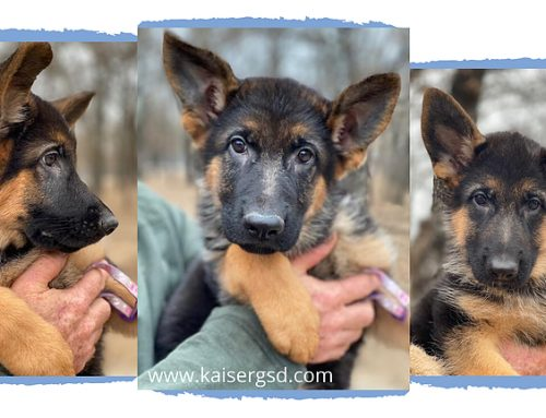 Here's Why German Shepherd Puppies are the Best!
