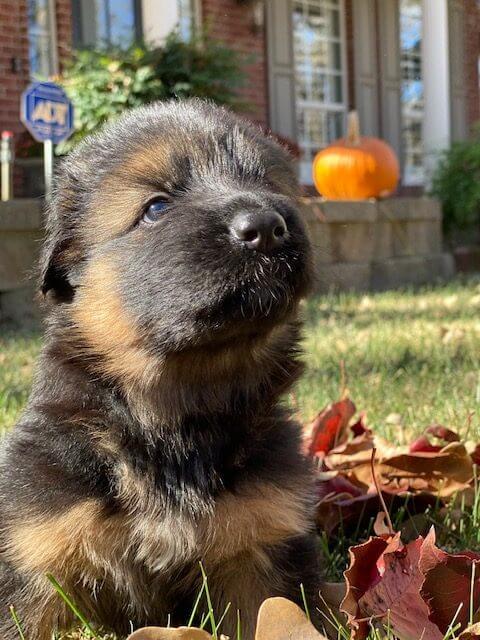 A Kaiser German Shepherd Puppy