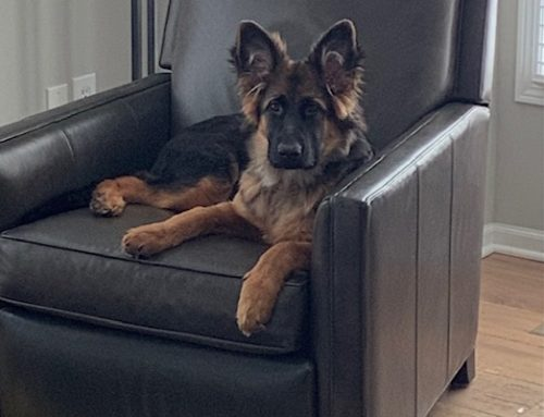 Is a German Shepherd Dog Suitable for You and Your Family?